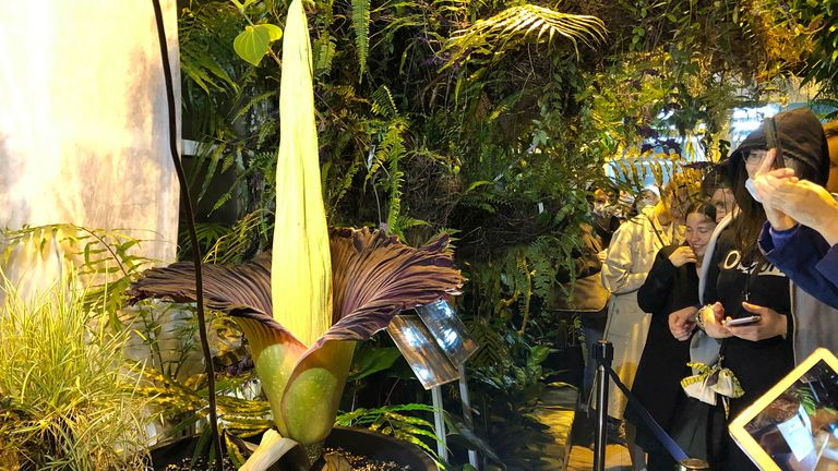 The endangered Sumatran Titan arum, or the corpse flower, at the rare moment of bloom for just a few hours, and emitting rotten meat odor, at the Warsaw University Botanical Gardens, in Warsaw, Poland, on Sunday, June 13, 2021. Hundreds of people waited for hours in cold wind to see the unusual flower, also known as Amorphophallus titanium, whose blooming is unpredictable and once in many years. Botanical gardens around the world help preserve this giant among flowers. (AP Photo/Monika Scislowsk