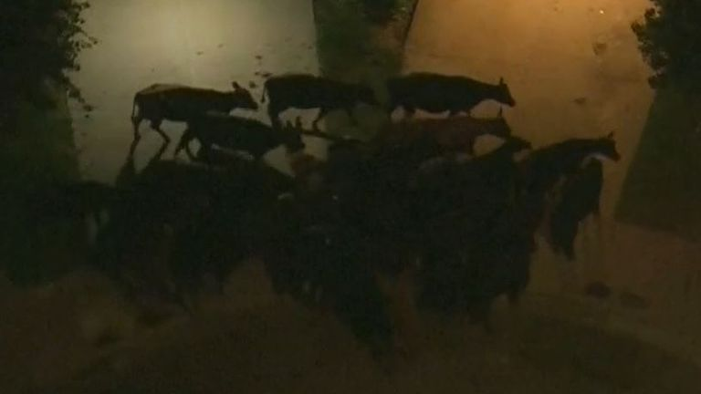 Herd of cows tramples through residential area in California