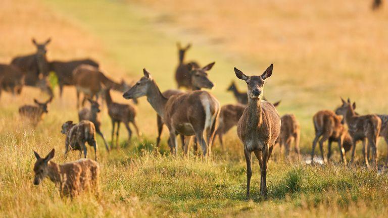 Fallow deer in Richmond Park, London