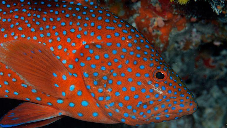 Coral grouper, Cephalopholis miniata, Heron Island, Great Barrier Reef, Australia. Pic: AP