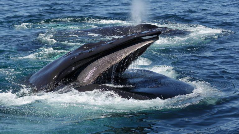 A humpback whale off Cape Cod. File pic