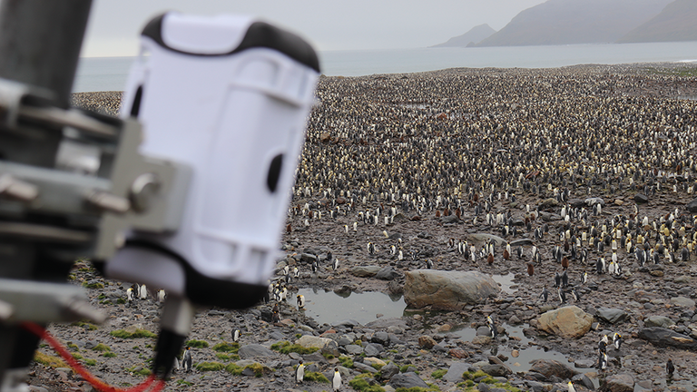 Lacuna sensors have been used to monitor king penguins. Credit: Lacuna Space