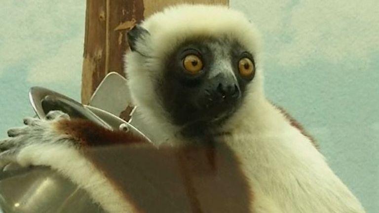 Endangered lemur now resides at Cologne Zoo