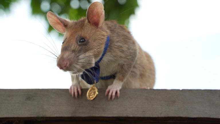 Magawa the award-winning landmine-sniffing rat is retiring after five years. Pic: AP/PDSA/Cover Images