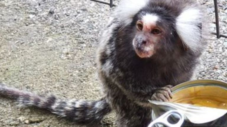 A monkey has been reunited with its family after being found at a train station near Glasgow. Pic: Scotrail