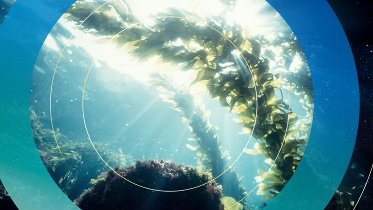 A kelp forest in the area could capture the same carbon emissions as 7,235 homes, the councils say