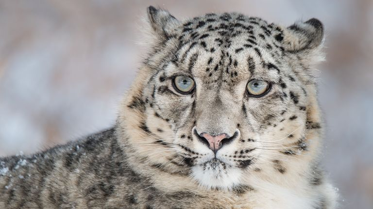 There could be as few as 4,000 snow leopards left in the wild
