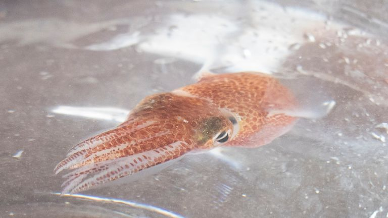 A squid is shown at a lab in Honolulu on June 11, 2021. Pic: AP