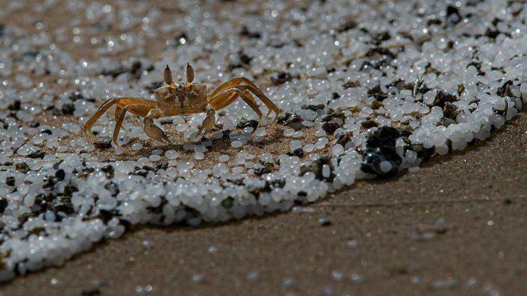 Seekor kepiting berselancar di pantai yang terkontaminasi butiran plastik yang terdampar dari kapal yang terbakar MV X-Press Pearl yang ditambatkan di Pelabuhan Kolombo di Kabongoda, di pinggiran Kolombo, Sri Lanka, Senin, 31 Mei 2021. Foto: AP