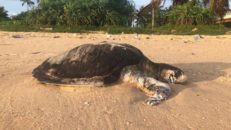 A dead turtle that has washed up on the beach following the disaster. Pic: The Mighty Roar