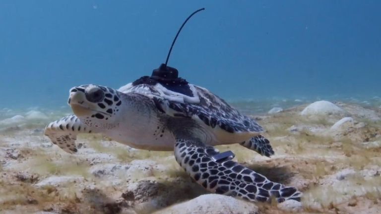 A group of 11 critically endangered hawksbill turtles swam in Australia's Great Barrier Reef for the first time in early May, after they were released into the ocean.