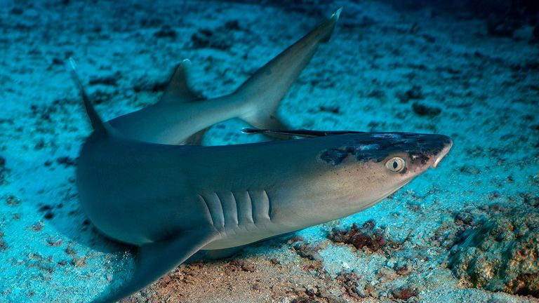 A whitetip reef shark with white spots and lesions (Pic: Jason Isley/Scubazoo)