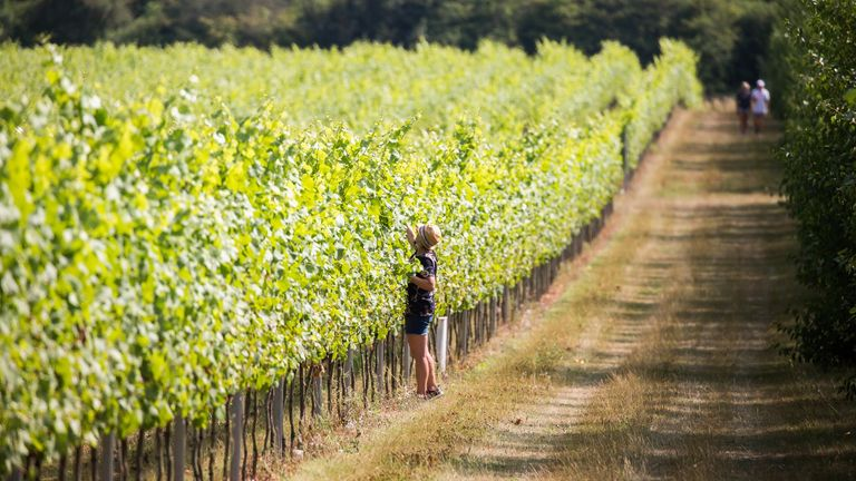 The South Downes currently has 51 vineyards and 11 wineries