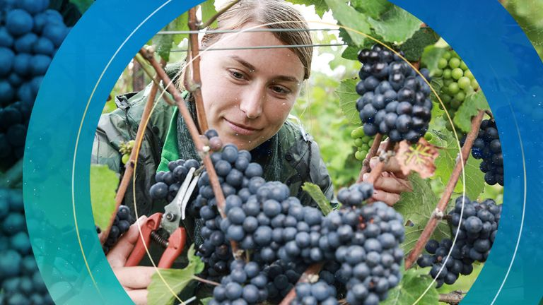 Climate change and longer summers in England and Wales will help the wine-growing economy