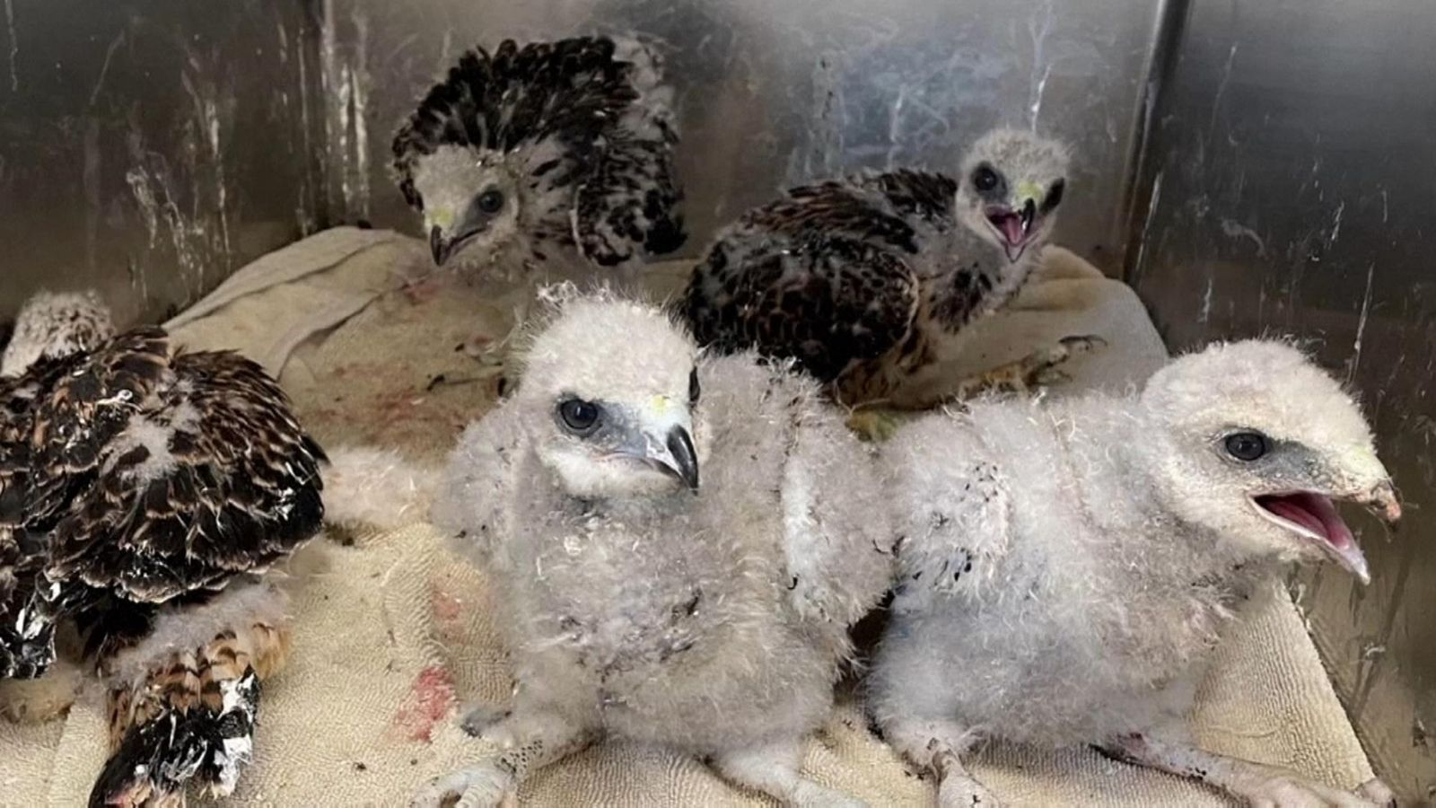 US heatwave: Baby birds injured fleeing nests to escape record conditions