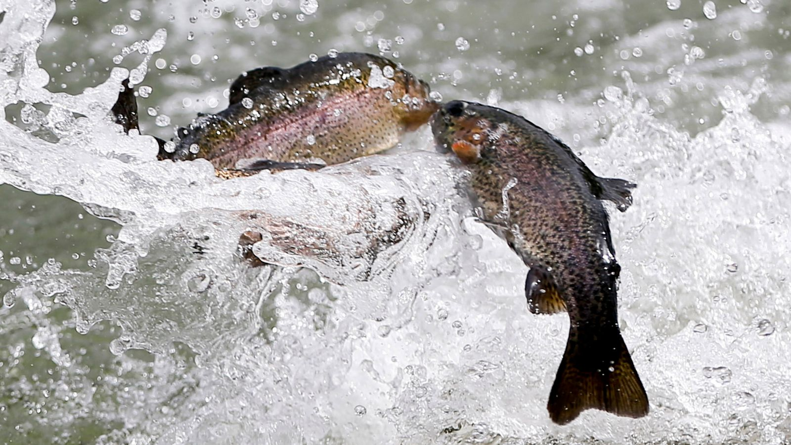 Scientists got 60 trout addicted to methamphetamine