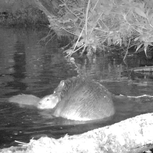 First baby beaver born on Exmoor in 400 years is spotted on film
