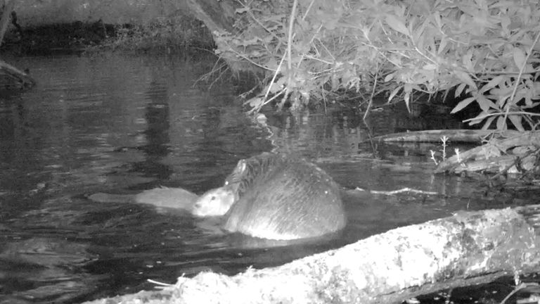 Undated handout photo of a Beaver kit and mother on the national Trust's Holnicote Estate in Somerset. Camera footage has captured shots of the first baby beaver to be born on Exmoor for 400 years, the National Trust said. The youngster, known as a kit, was caught on film at the conservation charity's Holnicote Estate in Somerset, where beavers were introduced to an enclosure in January 2020. Issue date: Tuesday July 13, 2021.