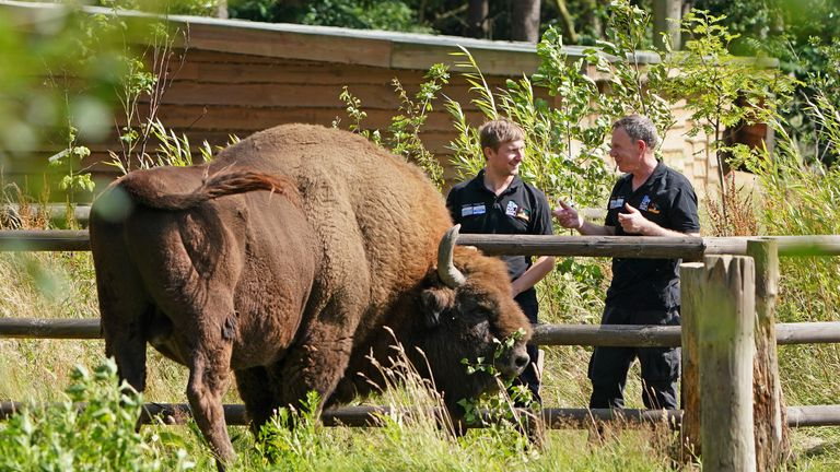 EMBARGOED TO 0001 THURSDAY JULY 29 Tom Gibbs (LEFT) and Donovan Wright, the UK's first-ever Bison Rangers, get to know a Bison at the Wildwood Trust , near Canterbury in Kent ahead of beginning work at West Blean Woods. The newly appointed pair, working for British wildlife charities Kent Wildlife Trust and Wildwood Trust, have started work in one of the largest areas of ancient woodland in the country ahead of bison arriving into the area in 2022. Picture date: Wednesday July 28, 2021.