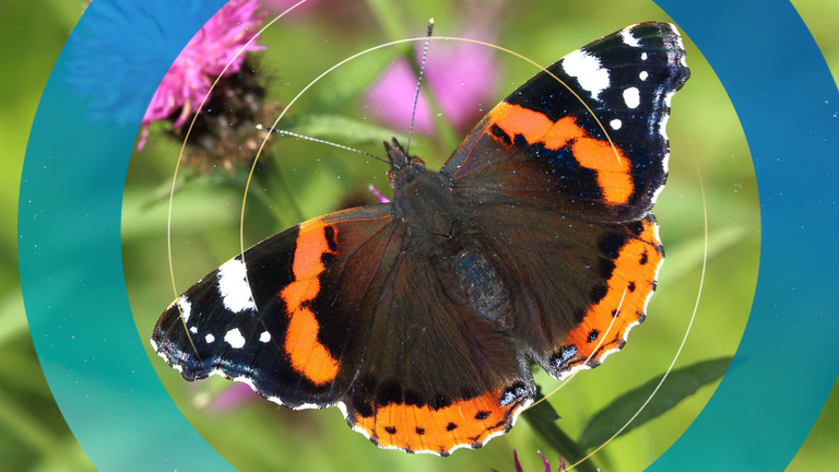The red admiral butterfly. Pic: Butterfly Conservation/PA