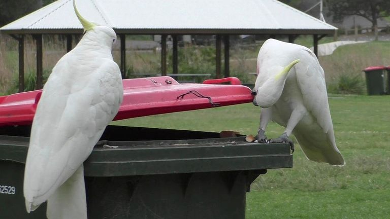 A sulphur-crested cockatoo watches as another opens a bi in Sydney in 2019