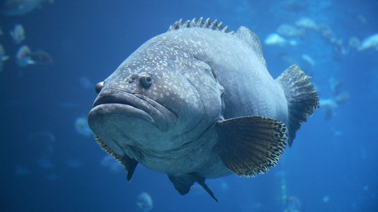 Atlantic goliath groupers can weigh up to 800lbs