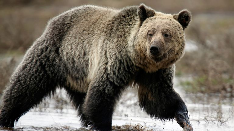 File picture of a grizzly bear