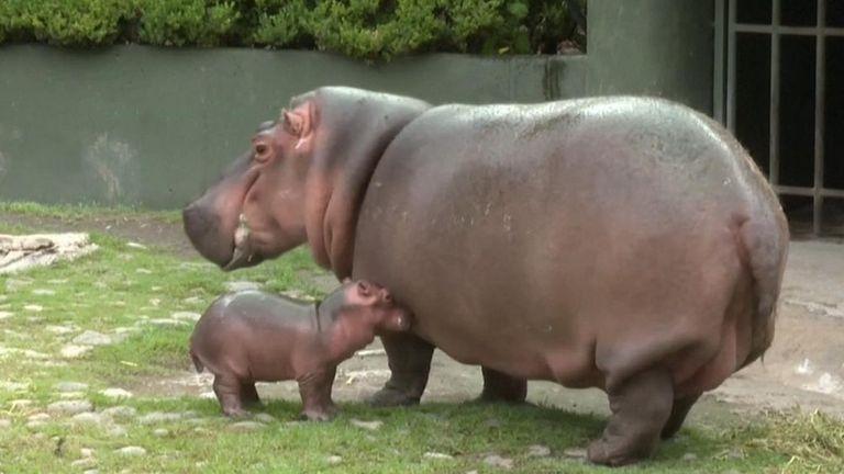 Birth of baby hippo delights Mexico zoo
