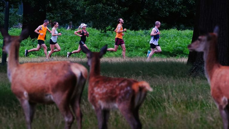 This year's fawns in Bushy Park, southwest London, are not used to seeing hundreds of runners every Saturday, unlike their parents