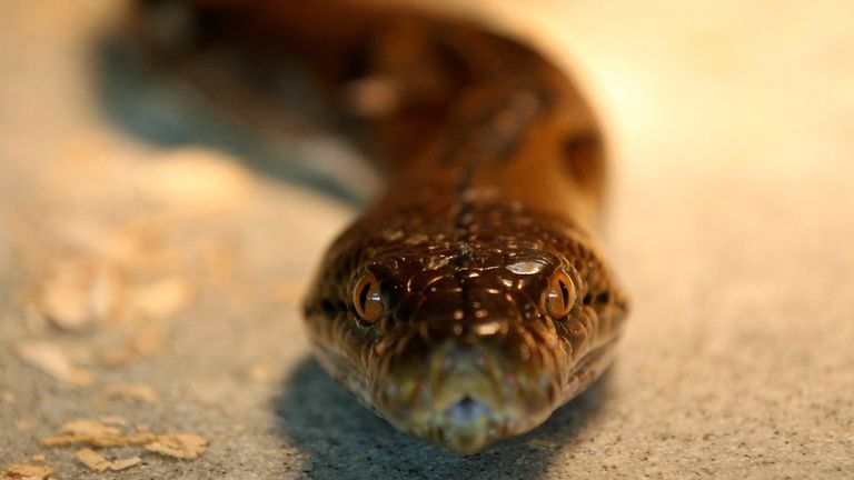 The snake left the victim with minor injuries. File pic