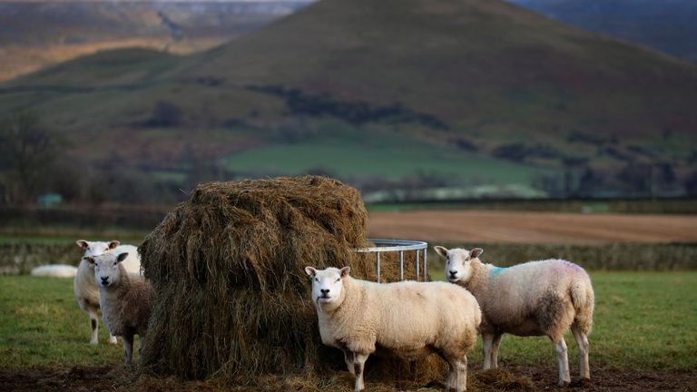 Sheep feed in a field on a farm near Appleby in Cumbria, Britain Sheep feed in a field on a farm near Appleby in Cumbria, Britain January 9 2020. REUTERS/Phil Noble
