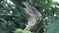 A 10ft long reticulated python rescued from a tree in Cambridgeshire on Friday afternoon