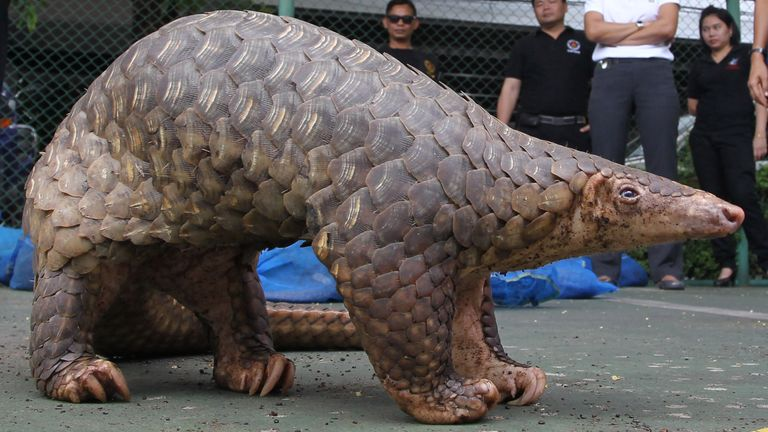 A rescued pangolin stands still while being shown at a news conference in Bangkok, Thailand Saturday, May 26, 2012. The Thai custom on Friday have rescued 138 endangered pangolins worth about $46,000 that they say were to be sold and eaten outside the country. The animals hidden in a pickup truck were seized at a custom check point in Chumporn province, south of Bangkok Friday, according to the officials. (AP Photo/Apichart Weerawong)