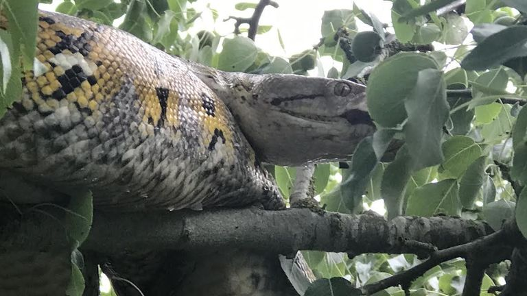 A 10ft long reticulated python rescued from a tree in Cambridgeshire on Friday afternoon after being spotted by a motorcyclist who was driving down a quiet country lane in Conington when he saw the large reptile slithering across the road in front of him. Issue date: Sunday August 29, 2021.
