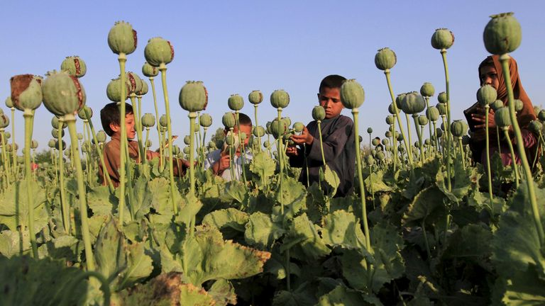 Afghan children gather raw opium on a poppy field on the outskirts of Jalalabad, April 28, 2015