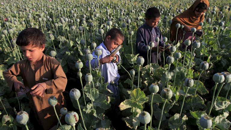 Children are often used to gather the opium from poppies
