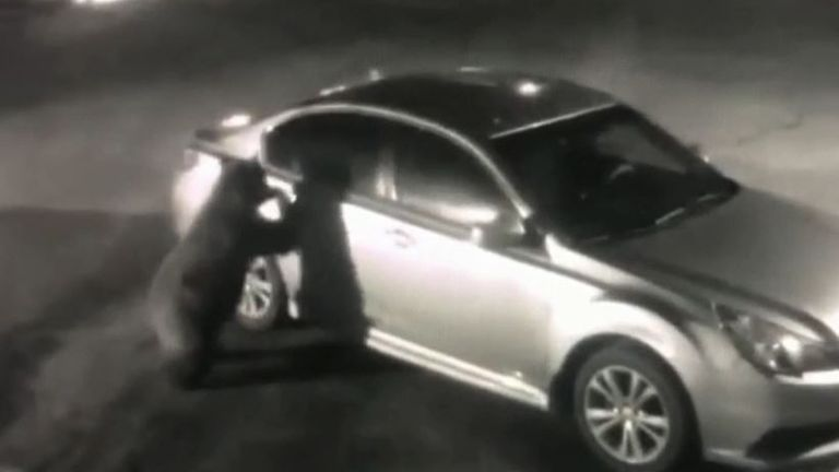 Bear opens car door before jumping in for a look inside