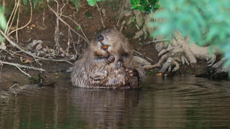 Beavers will be reintroduced into the English countryside. Pic: Mike Symes/Devon Wildlife Trust