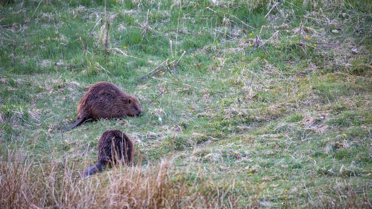 Euroasian beavers, Castor fiber, displaying behaviour eating on grass during an early spring morning in Scotland. Pic: iStock