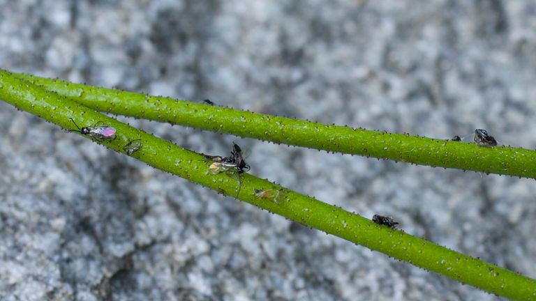 Triantha occidentalis traps insects. Photo: Dr. Qianshi Lin