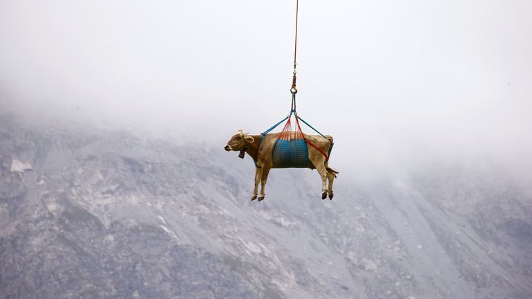 Cows injured during their summer sojourn in the high Swiss Alpine meadows received airlifts down the mountain.