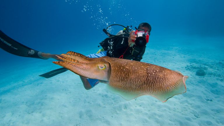 Diver and a common cuttlefish, Sepia officinalis, in Palau, Micronesia. Pic: AP