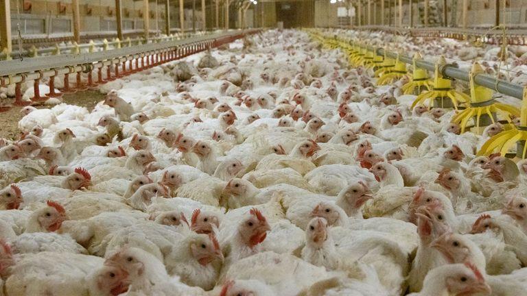 Tierschutzorganisationen behaupten, dass Hühner in einigen Intensivbetrieben so gezüchtet werden, dass sie mit ungewöhnlichen Geschwindigkeiten wachsen.  Bild: offene Käfige