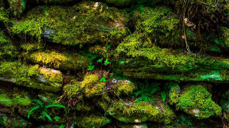 An old Irish Rock Wall covered in various colors and textures of bright green moss, ferns, etc. Pic: iStock