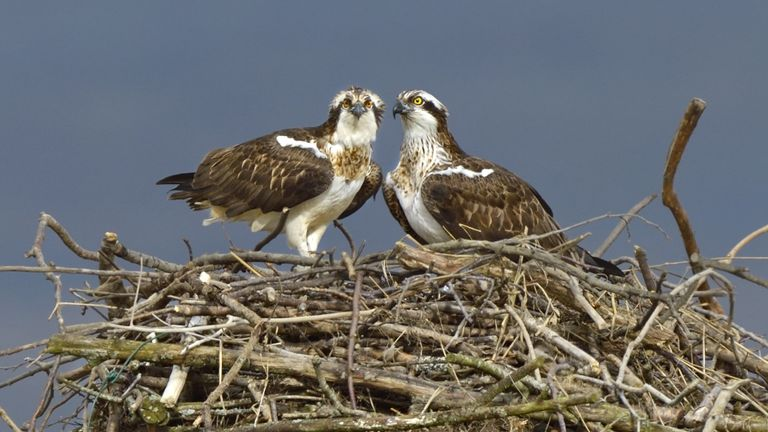A pair of Ospreys in their nest