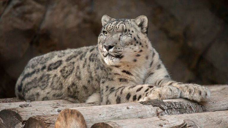 Ramil, a male snow leopard, tested positive for COVID at San Diego Zoo. Pic: AP