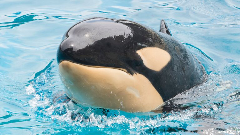 Amaya, a six-year-old female orca, swims a the park. Amaya died unexpectedly on Thursday. Pic: AP