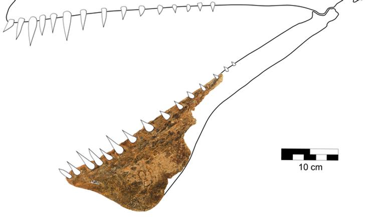 Reconstruction of the skull of Thapunngaka shawi (KKF494). From Richards et al. (2021)