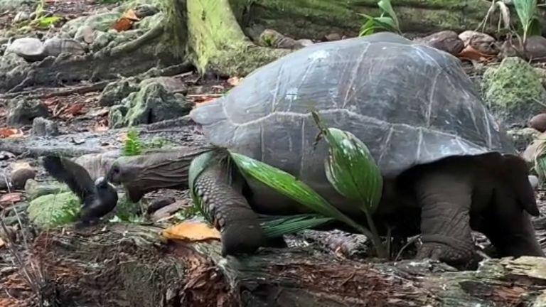 The tortoise's attack on the chick was seen in July 2020. Pic: Anna Zora, Justin Gerlach, Fregate Island/Reuters