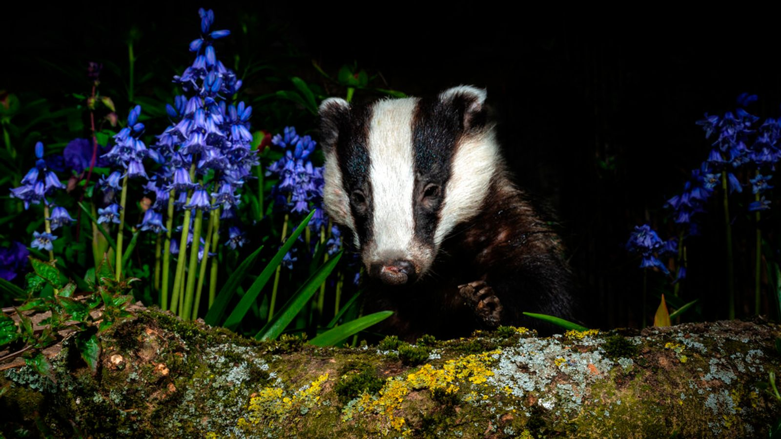 Badger cull: Thousands to be put down in seven new areas across England as government battles bovine TB